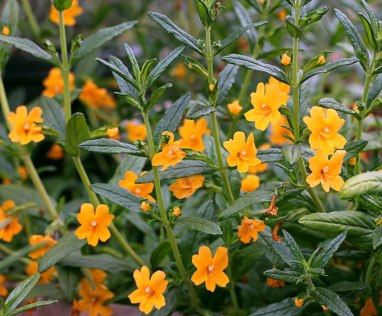mimulus_pt_molate_04
